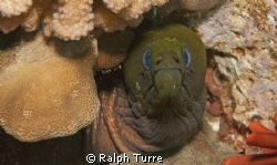 Undulated moray eel by Ralph Turre